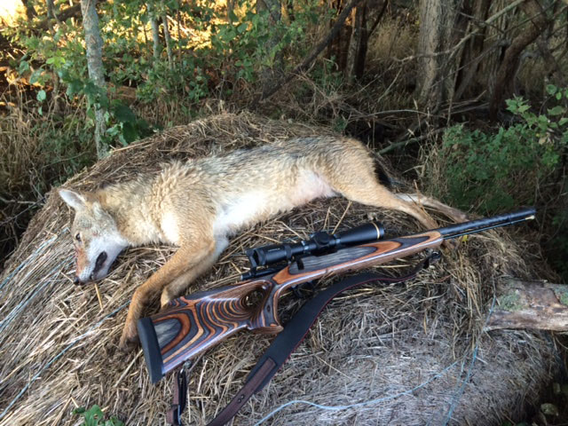 Ryan Roeder's Coyote